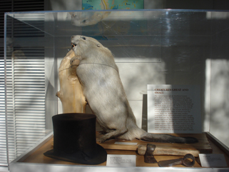 Old beaver taxidermy mount on display at the Weyerhaeuser Museum, May 2009.