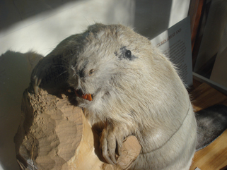 Closeup of old beaver's face. Is this not one of the creepiest looking taxidermy mounts you've seen? Photo dated May 20, 2009.