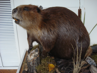 Our new beaver, created by Randy Hamson of Stoney Hills Taxidermy, April 2, 2010.