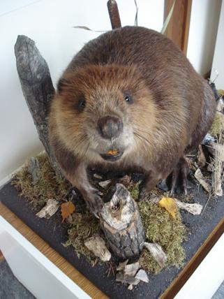Sir Chompsalot, the new beaver at the Weyerhaeuser Museum, April 2, 2010. Isn't that a cute face?