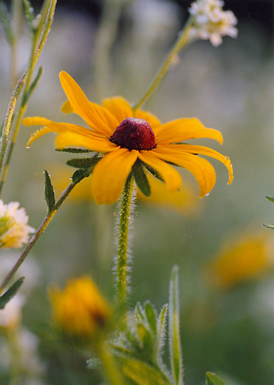 Prairie flower in Weyerhaeuser Museum's prairie area. Photo by Glenys Warner.