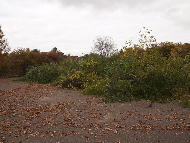 Buckthorn pile on the parking lot berm at the Weyerhaeuser Museum, October 2015.