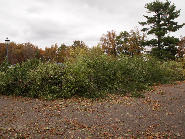 Buckthorn pile on the parking lot berm at the Weyerhaeuser Museum, October 2015. - There are cars behind this pile. Seriously.