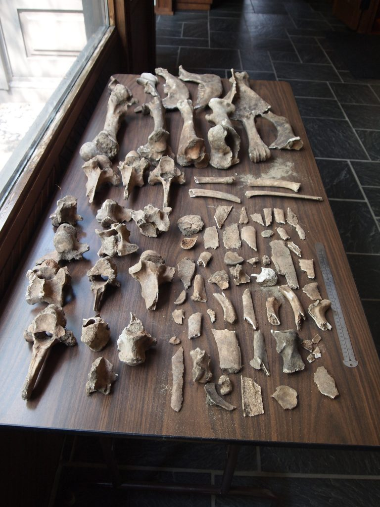Collection of bison bones donated to the Morrison County Historical Society by the Eugene Koroll family of Little Falls, MN, in June 2015.