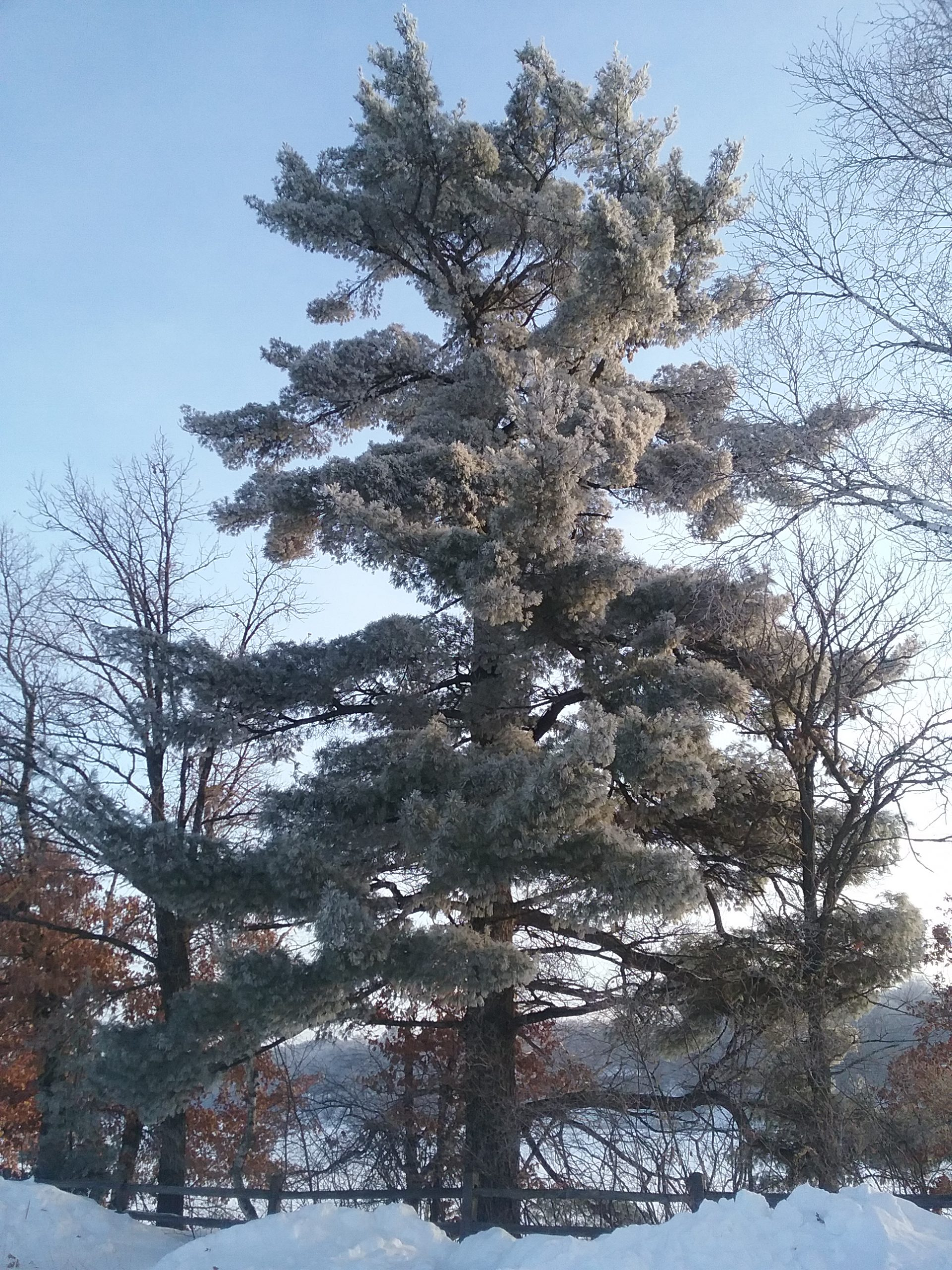 Frosty Big Pine at The Charles A. Weyerhaeuser Memorial Museum, December 21, 2019.