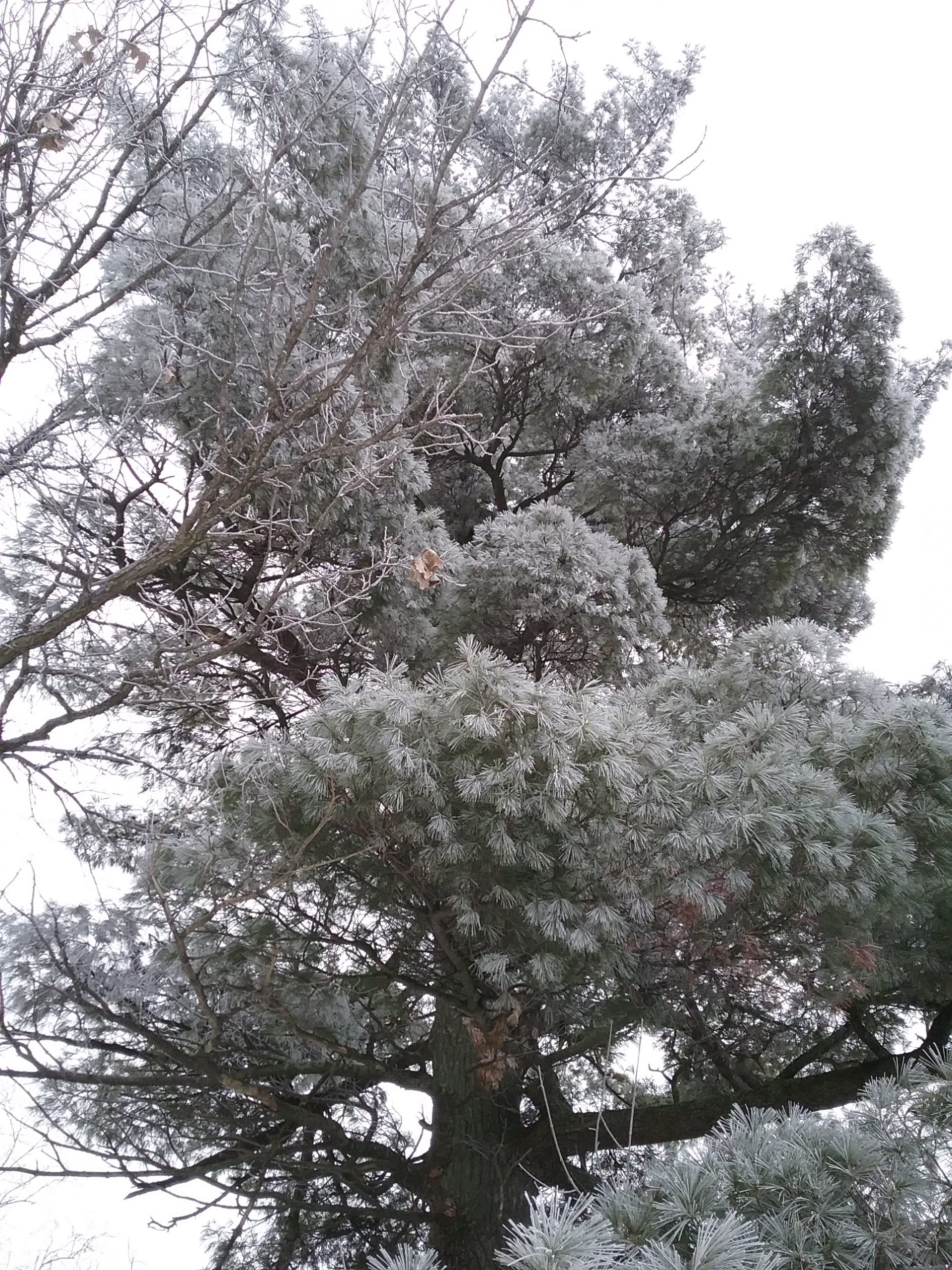 Frosty big pine at the Weyerhaeuser Museum, Little Falls, MN, 2020.