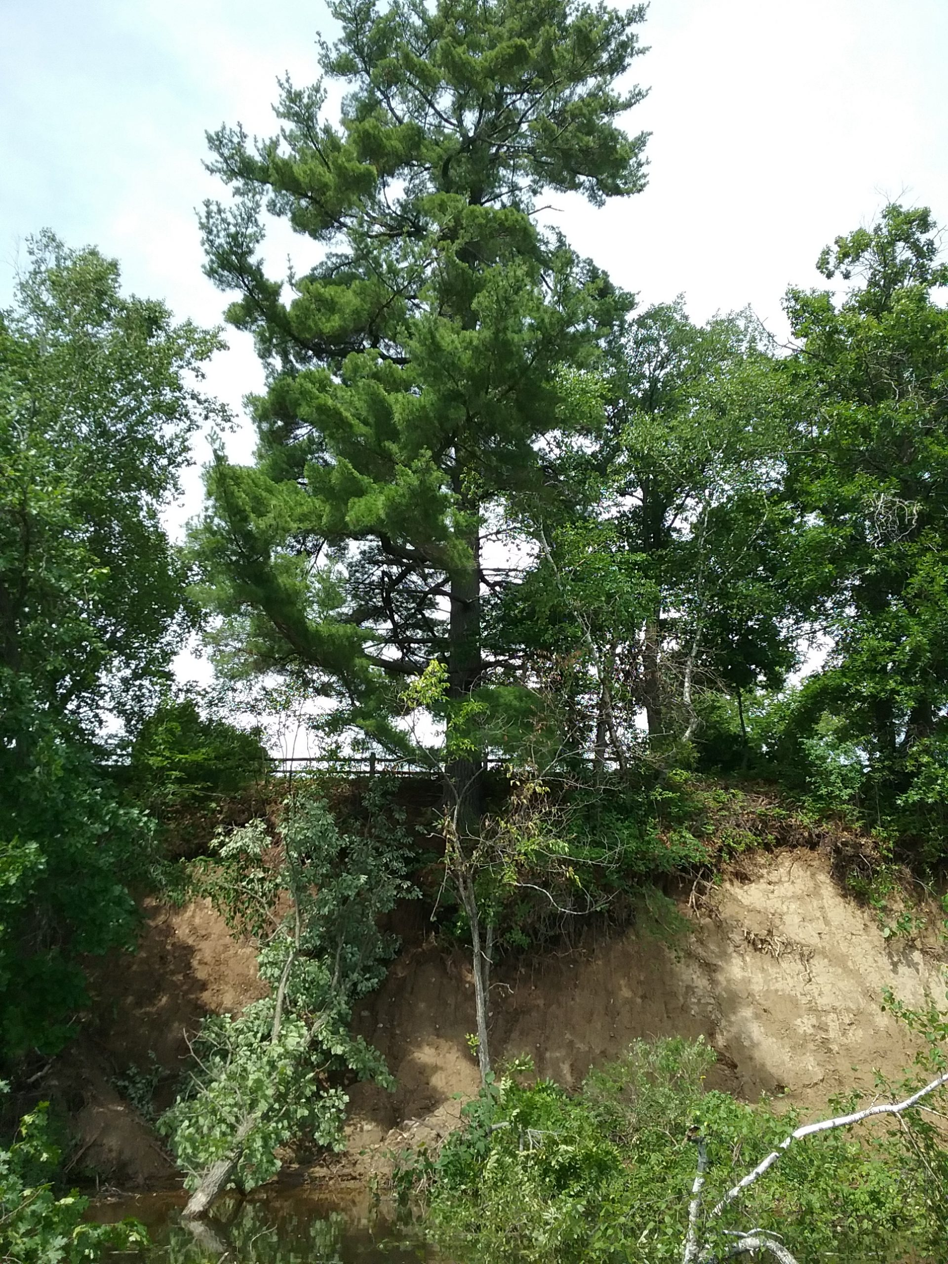 This shows the washout under the Big Pine. Note the fence behind the Big Pine and how much of the pine's roots are exposed, as well as the trees that are in the water. Taken July 3, 2020.