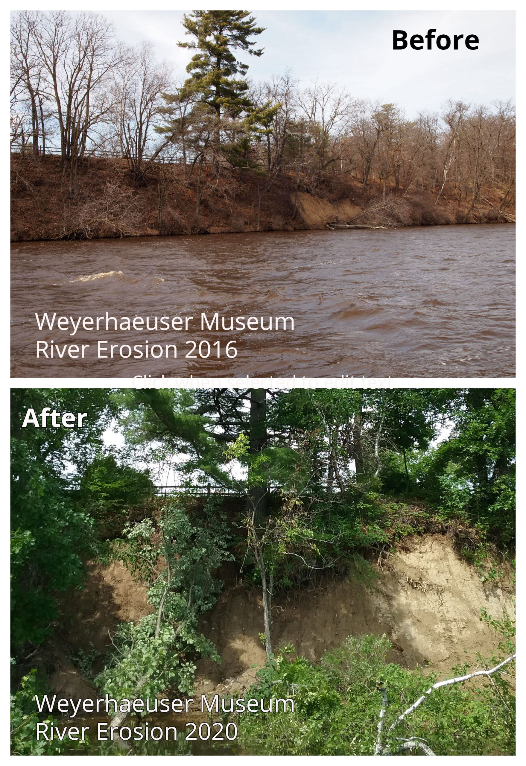 Top photo shows erosion on the riverbank beneath the Big Pine by the Weyerhaeuser Museum in 2016. The bottom shows the erosion after the June 30, 2020, massive rain event.